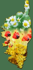 Plantes Corses pour huiles essentielles bio Intimu