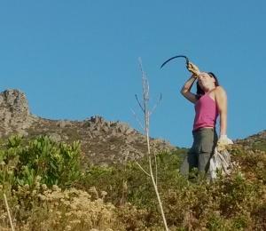 Cueillette de plante sauvage dans le maquis