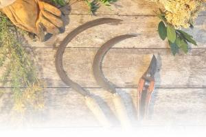 La transformation de plantes aromatiques corses