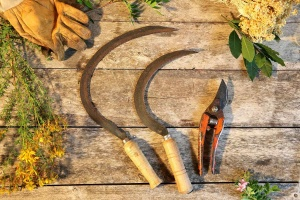 Cueillette, transformation et distillation de plantes sauvages corses