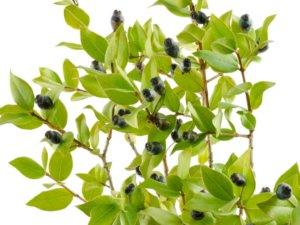 L'huile essentielle de myrte vert du Cap, c'est chez Intimu