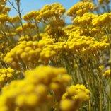 fleur de maquis