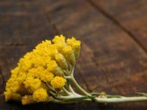 helichrysum italicum ssp. italicum