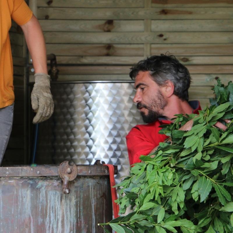 Distillation artisanale de laurier noble