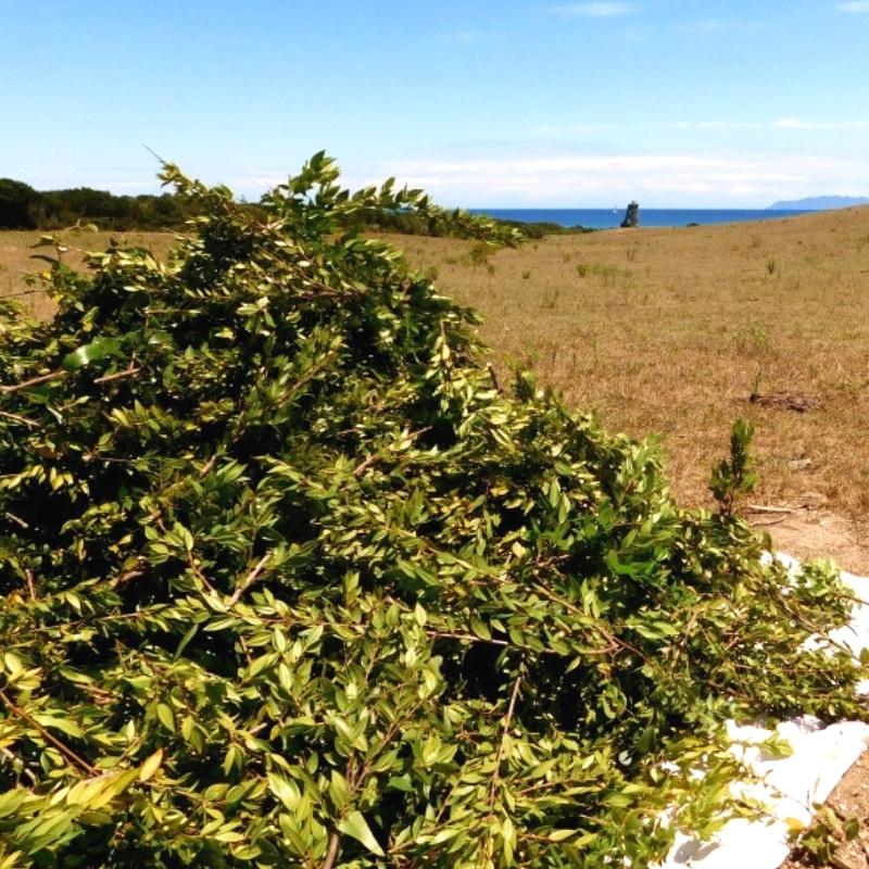 Cueillette de myrte dans le Cap corse sauvage