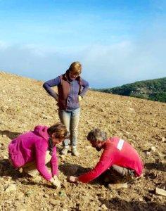 Plantation d'immortelle dans le Cap Corse