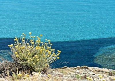 Hélichryse du bord de mer par Carine Poletti