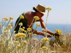Tout commence lors de la cueillette.... Hélène récolte manuellement l'hélichryse sauvage.