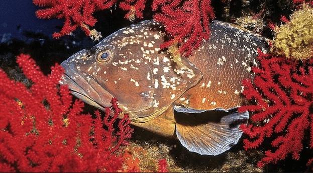 Le mérou, poisson heureux de la réserve de Scandola