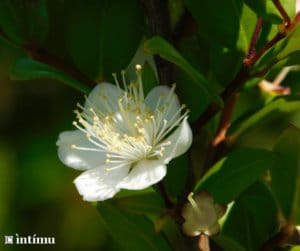 Myrte vert, la fleur