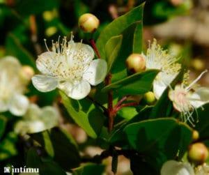 Le myrte vert et l'hélichryse Corse