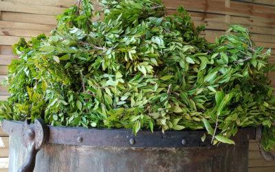 Myrte vert corse, propriétés, utilisations et production.