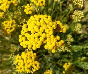 Il faut récolter l'immortelle au moment où ses fleurs sont bien ouvertes. Pas trop tôt, pas trop tard.