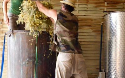 Immortelle corse : Première récolte de la plantation du Cap.