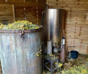 Extraction de l'huile essentielle d'immortelle