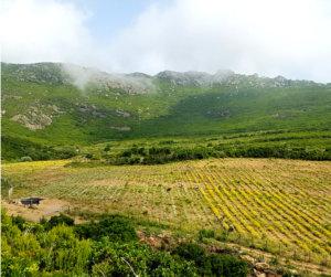 Première récolte de la plantation d'immortelles chez Intimu, Cap Corse
