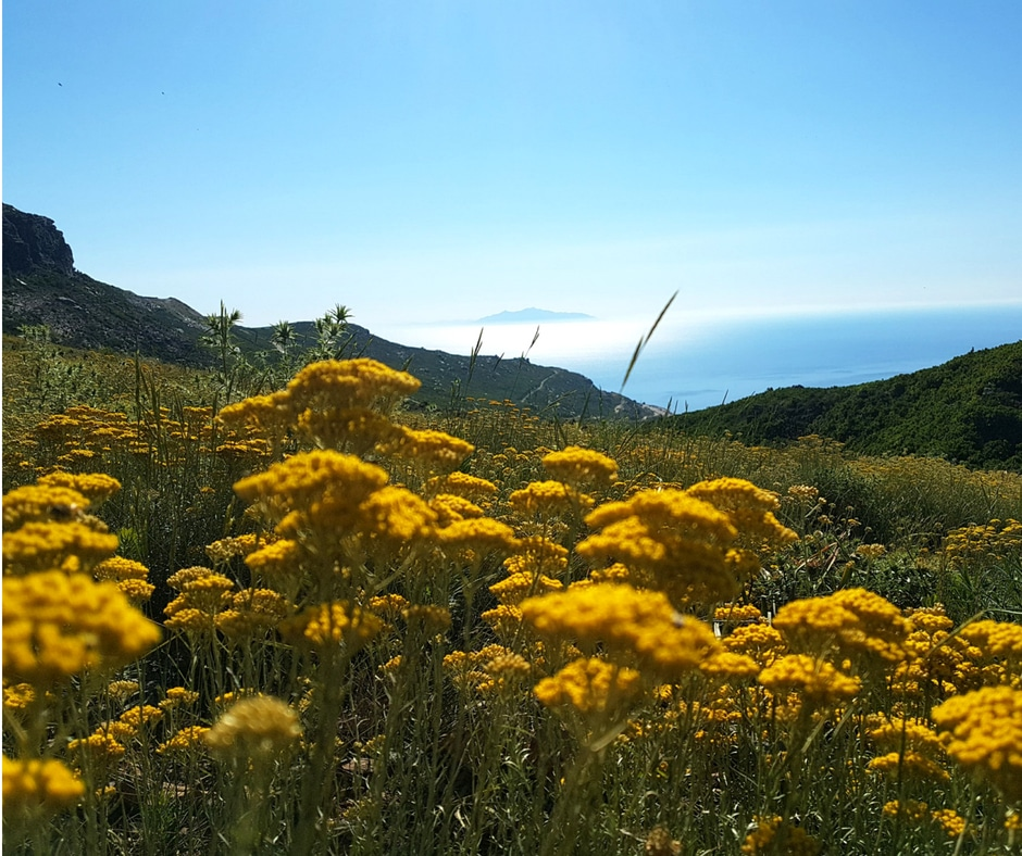 Récolte d'immortelles dans le Cap Corse, à Brando