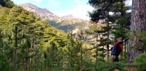 Cueillette de pin lariciu à Asco