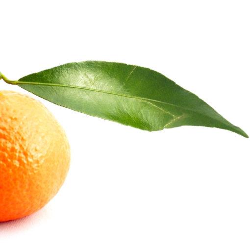 Citrus reticulata Blanco var Clémentinier.