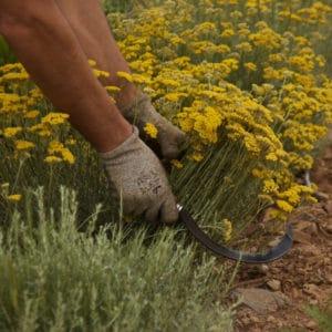L'hélichryse italienne ou l'immortelle corse a des propriétés uniques.