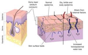 Le fonctionnement de notre peau