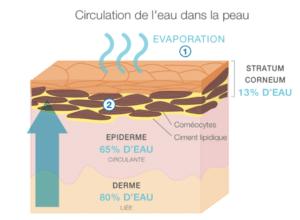 Schéma explicatif de la circulation de l'eau dans la peau