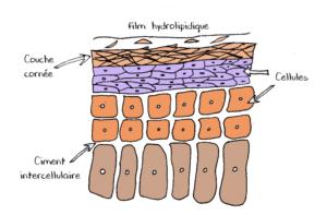 Schéma de coupe de l'épiderme
