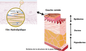 Schéma de la couche cornée de la peau