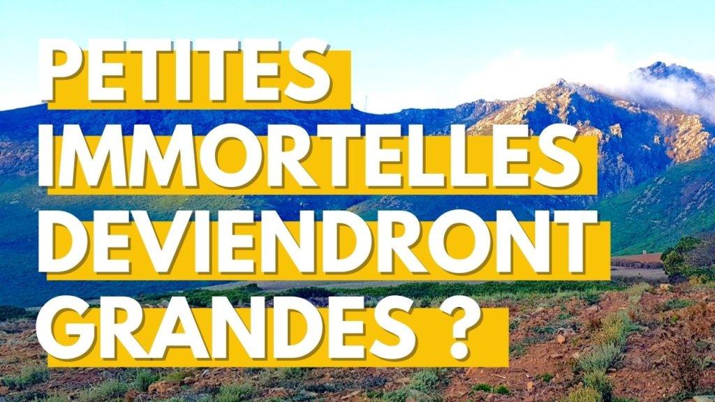 Alors ça pousse : histoire de la 1ère plantation d'immortelle corse dans le Cap Corse